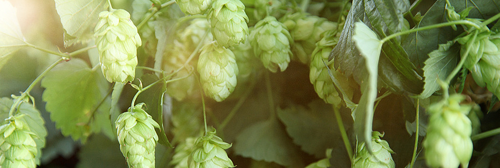 "Best hops: the ""green gold"""