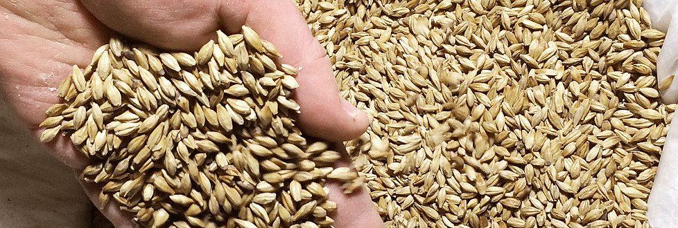 Home-grown brewing barley: the soul of our beer